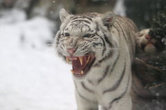 White tiger cub Stock Photography