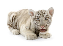 White Tiger cub (3 months). In front of a white background Royalty Free Stock Photo