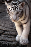 White Tiger Cub royalty free stock image