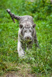 White tiger cub Royalty Free Stock Images