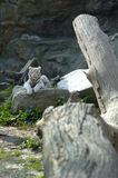 White tiger cub resting Stock Photography