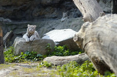 White tiger cub resting Royalty Free Stock Image