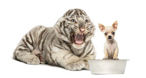 White tiger cub screaming at a Chihuahua puppy, isolated Stock Photos
