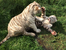White Tiger Cubs. Two white tiger cubs play fighting on some wet grass royalty free stock photos