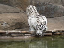 White tiger drinking water royalty free stock photo