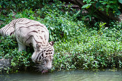 White tiger drinking water Stock Image