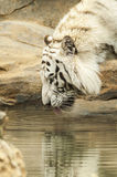 White tiger drinking water Stock Photography