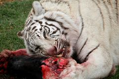 White Tiger Eating Royalty Free Stock Photo