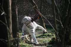 White tiger eating. White tiger feeding with raw meat Royalty Free Stock Images