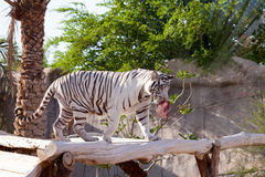 White tiger. Eating fresh meat Royalty Free Stock Photo