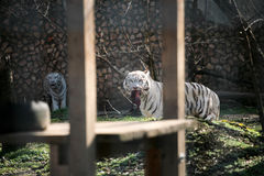 White tiger eating Royalty Free Stock Photos