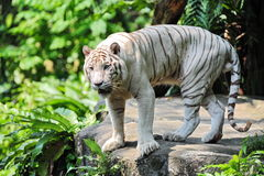 White tiger at the edge of cliff Royalty Free Stock Photo