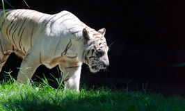 White tiger emerging from the shadows Stock Images