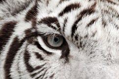 White tiger eye. Close up of white bengal tiger eye Stock Image