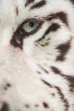White Tiger eye Stock Photo