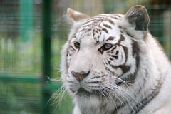 White tiger face detail. And stripes Stock Photo