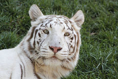 White tiger. Tiger face,white royal bengal tiger,white tiger Royalty Free Stock Images