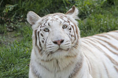 White tiger. Tiger face,white royal bengal tiger,white tiger Stock Photo