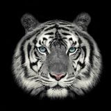 White tiger face. stock photography
