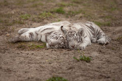 White tiger family Stock Photo
