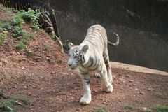 White tiger fiercefully coming forth with a roar. A white tiger fiercefully coming forth with a roar royalty free stock photography