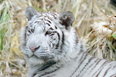 White Tiger with fluffy ears. White tiger with fluffy cheeks and ears Stock Photography