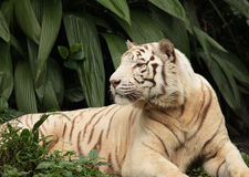 White tiger in forest Stock Photos