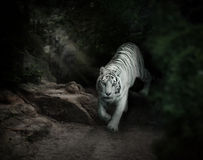 White tiger in forest Royalty Free Stock Photo