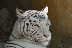 A white tiger in a French zoo stock photo