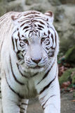 White tiger front Stock Photography