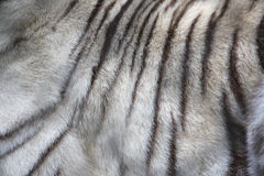 White Tiger fur very close up Stock Image
