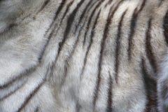 White Tiger fur very close up Stock Image