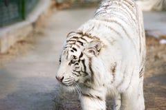 White tiger Stock Image