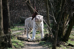 White tiger. Going to eat raw meat Stock Images