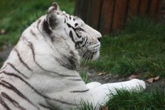 White tiger on the grass Royalty Free Stock Photos