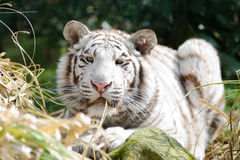 White tiger with grass in mouth. Looking Royalty Free Stock Photography