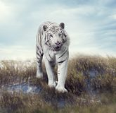 White Tiger in the Grassland. White Tiger Walking in the Grassland Stock Images