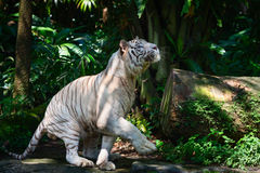White tiger in green forest. White tiger prowls in green forest and get ready to jump up Stock Photos