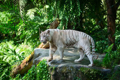 White tiger in green tropical forest Royalty Free Stock Image
