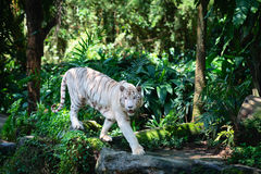 White tiger in green tropical forest Royalty Free Stock Photos