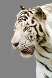 White tiger,grey Royalty Free Stock Photos