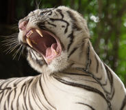 The white tiger growls. Big canines. doff Stock Image