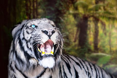 The white tiger growls. big canines. Doff Stock Photo