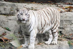 White tiger in Guangzhou, China Stock Image