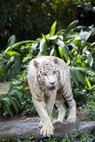 White tiger guarding Royalty Free Stock Image
