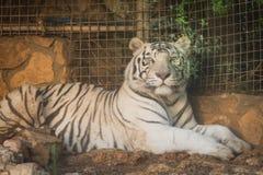 White Tiger at Haifa Zoo Royalty Free Stock Image