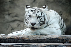 White tiger. Has a rest, looks directly Royalty Free Stock Photos