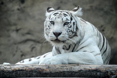 White tiger. Has a rest, looks directly Stock Photography