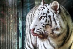 White tiger head. As very nice wild cat Royalty Free Stock Photography