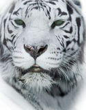 White tiger head closeup Royalty Free Stock Image